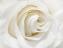 White rose. White fresh rose with droplets Stock Images