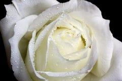 White Rose Royalty Free Stock Photos