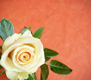 White rose. On red background Royalty Free Stock Image