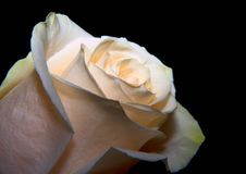 White rose. On the black background royalty free stock image