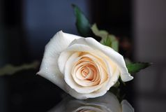 White rose. Beautiful white rose. Freshness and tenderness Stock Images