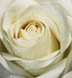 White Rose. And water drops Royalty Free Stock Image