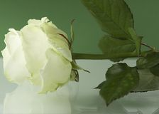 White Rose. A white rose on a white and green background. Color game Royalty Free Stock Photo