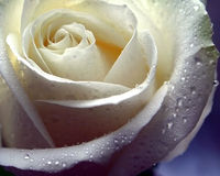 White rose. White beautiful rose with dew Royalty Free Stock Photo