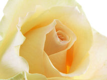White Rose. Macro isolated on a white background Royalty Free Stock Photo