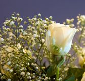 White Rose. With baby's breath isolated against dark background; narrow depth of field Stock Photo