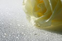 White rose. Beautiful white rose with water drops Stock Photos