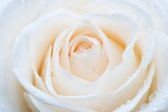 Free White Rose Stock Photos - 4431653