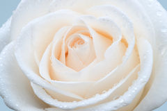 White rose. Beautiful white rose with dew royalty free stock photography