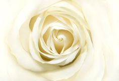 White rose. Background from a large white rose Royalty Free Stock Photo