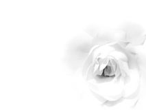 White rose. Beautiful floral background with soft and romantic rose. Space for text insertion Royalty Free Stock Images