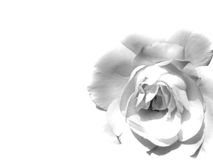 White rose. Beautiful floral background with soft and romantic rose. Space for text insertion Royalty Free Stock Photo