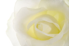 White rose. White rose close up on white Stock Images