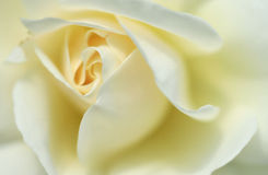 White rose. Closeup of a beautiful white rose royalty free stock photography