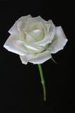 White Rose. A wild white rose stock image