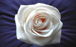 White rose. Rose in blue silk sheet Royalty Free Stock Images