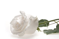 White rose stock images