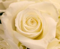 White Rose. Close up white rose Royalty Free Stock Image