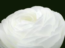 White Rose. A close-up of a white rose royalty free stock images