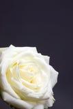 White rose. Royalty Free Stock Photos