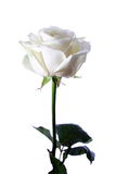 White rose. A White rose on a white background Stock Photos