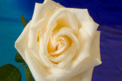 White Rose. A White rose with Dew Drops stock photos