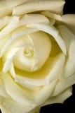 White rose. Detail on darl background Royalty Free Stock Image