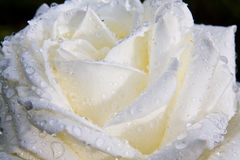 White Rose. A dew covered white rose showing detail in the petals Stock Image