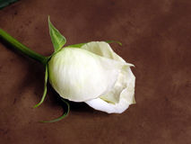 White rose. Diagonally on brown textured background stock photography
