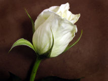 White rose. On brown background stock photos
