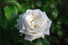 Free White Rose Stock Photography - 89686162