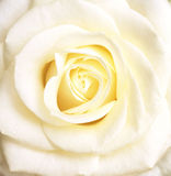 White rose. Tender white rose (close-up royalty free stock photo