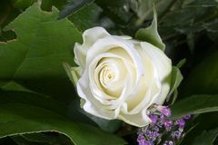 White rose. A white rose and purple flowers on green Stock Photos