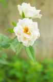 White Rose Royalty Free Stock Images