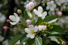 White and rose apple flowers Royalty Free Stock Photography