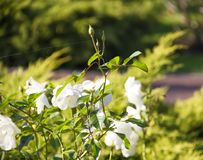 White rose bloom in autumn leaves, late. White rose in autumn bloom leaves, late stock image