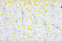 White rose for background Royalty Free Stock Photos