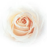 White rose background Stock Photo