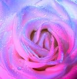 White rose background Royalty Free Stock Photo