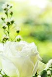 White rose background Royalty Free Stock Images