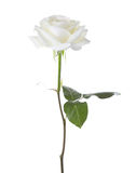 White rose. Royalty Free Stock Photography