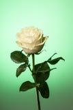 White rose background Royalty Free Stock Photography