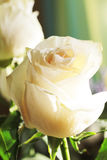 White rose background Royalty Free Stock Photography