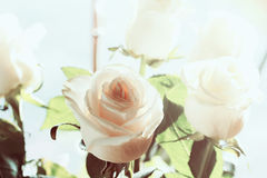 White rose background Royalty Free Stock Photos