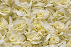 White rose background Stock Photos