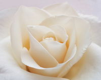 White Rose Background - Flower Stock Photos. White Rose Background : Flower Mothers day or Valentines card - background royalty free stock photography