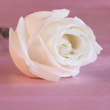 White Rose Background - Flower Stock Photos. White Rose Background : Flower Mothers day or Valentines card - pink background royalty free stock photos