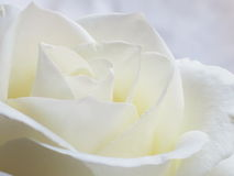White Rose Background - Flower Stock Photos. White Rose Background : Flower Mothers day or Valentines card wallpaper royalty free stock photography