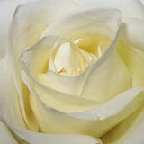 White Rose Background - Flower Stock Photos. White Rose Background : Flower Mothers day or Valentines card wallpaper stock photography