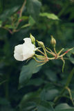 White rose on background of greens. Selective focus, toned image, film effect, macro. White rose on on background of greens. Selective focus, toned image, film Royalty Free Stock Photos